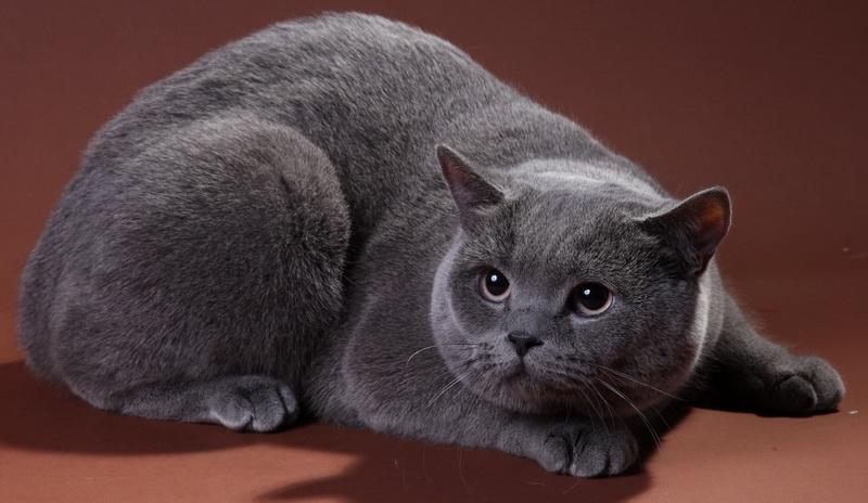 корм для кошек для породы Хайленд-страйт