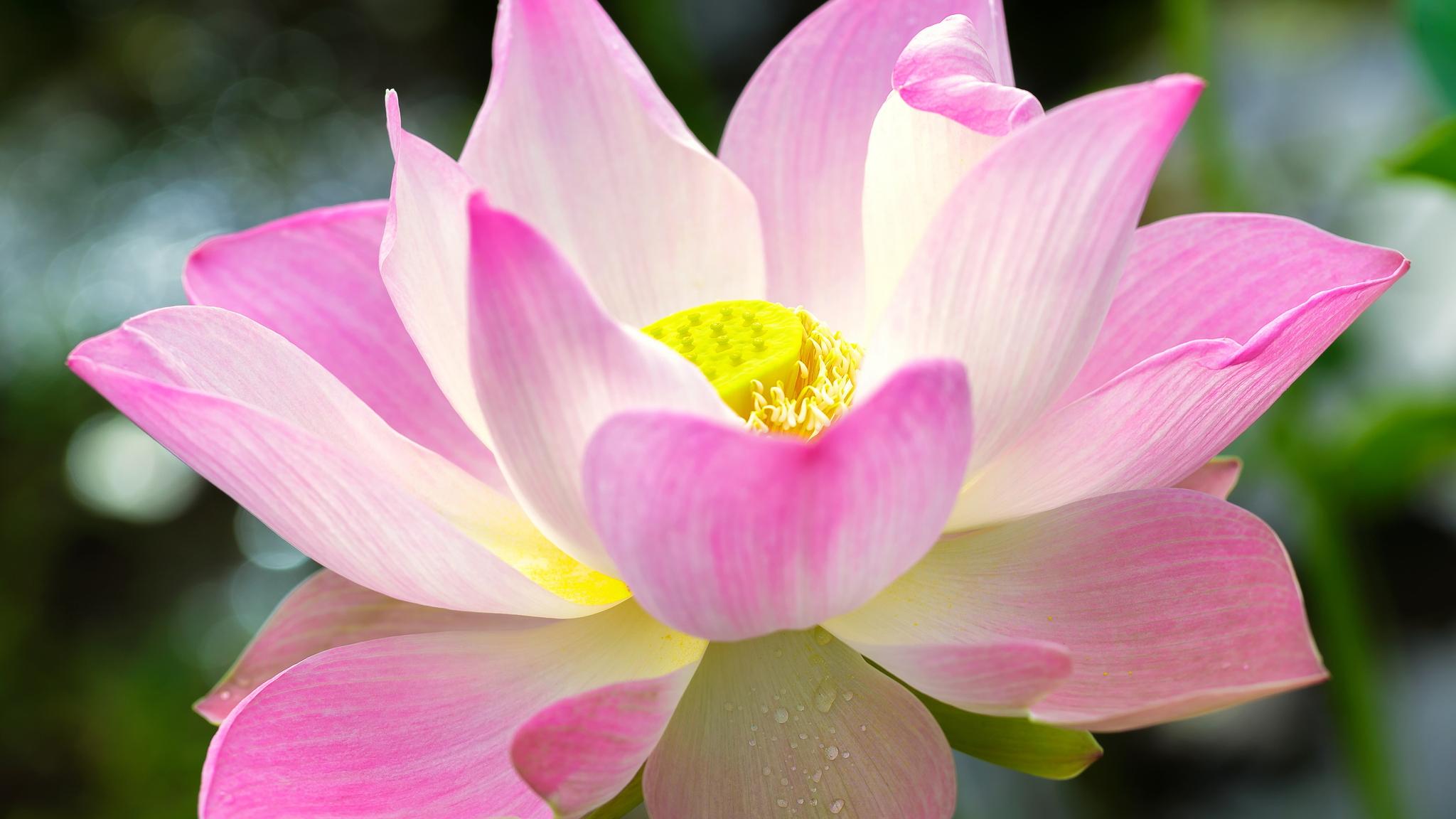 Цветок похожий на лотос фото
