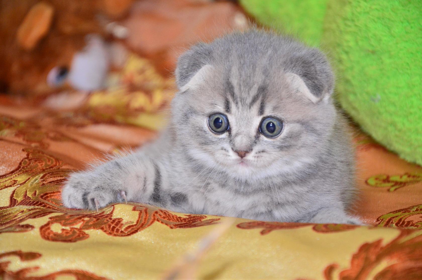 дару британские вислоухие котята в картинках рождения