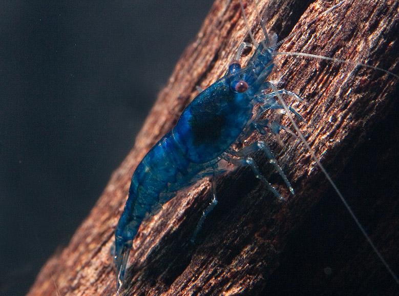 2033_0_blue_dream_zwerggarnele_neocaridina_davidi_1.jpg