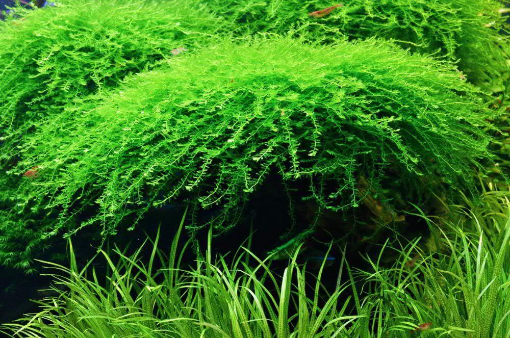 309985392_4_1000x700_korolevskiy-moh-akvariumnye-rasteniya-zhivotnye.jpg