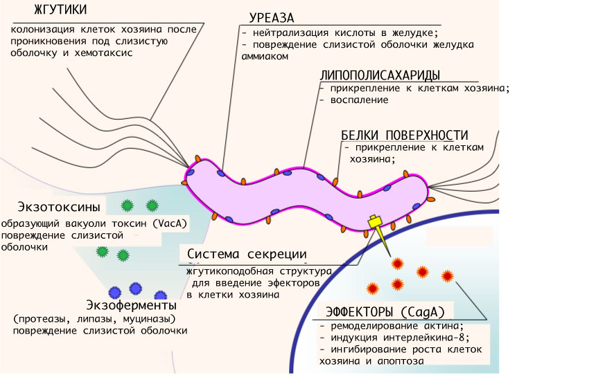 желудок и хеликобактер