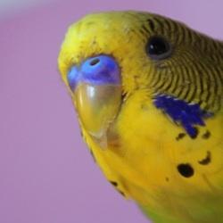 Волнистый попугайчик-1