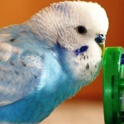 Волнистый попугайчик-2