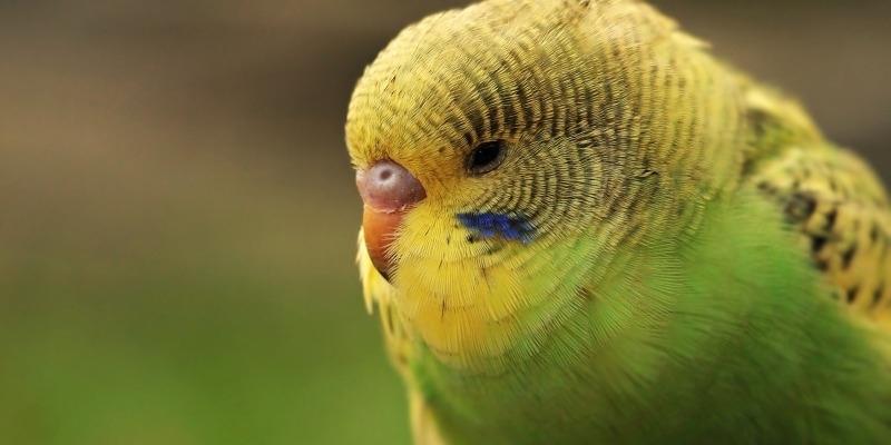 Волнистый попугайчик - 1