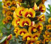 Eutaxia myrtifolia  005A.jpg