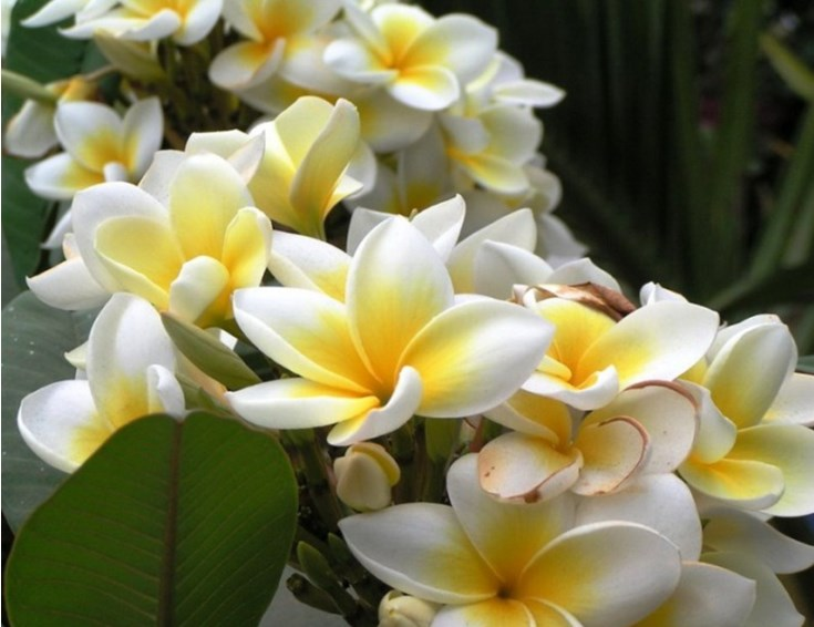 цветы Ванили.jpg