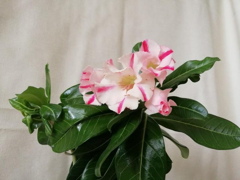 """Экзотический цветок """"Пустынная роза""""  D3f8663d3be0bba088eeb80d3632cf2a"""