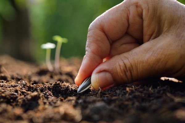 Выращивание подсолнечника: ключевые нюансы