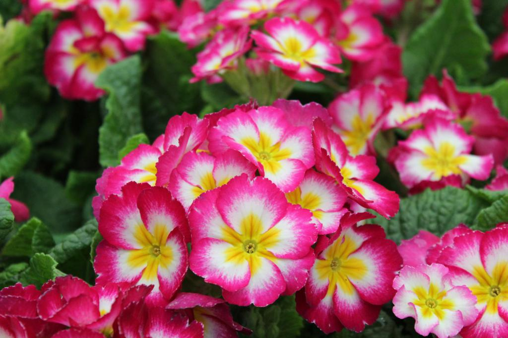 Низкорослые многолетние цветы
