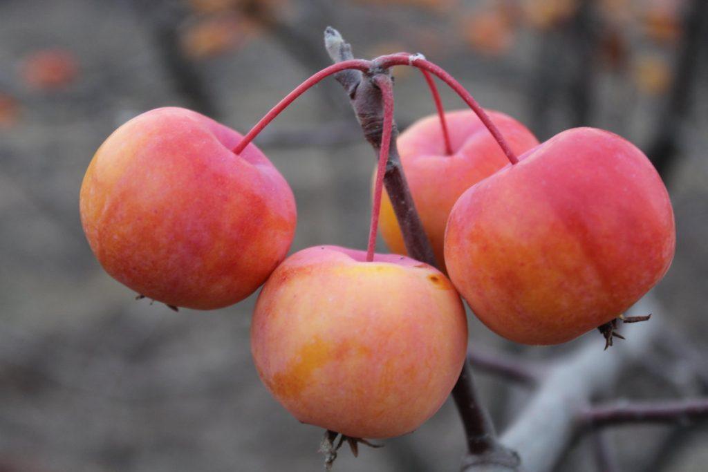 Яблоня-Сиверса.jpg