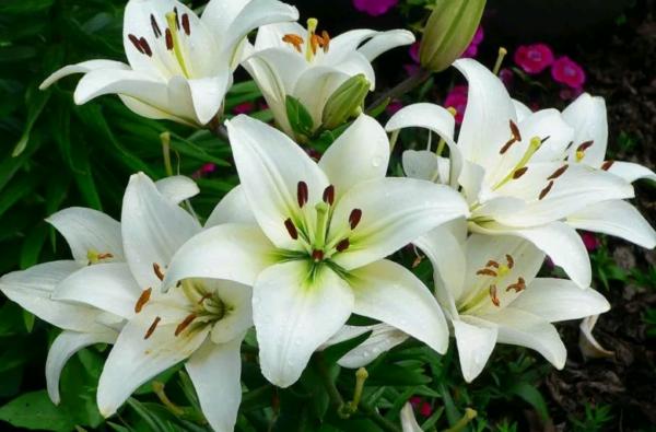 Как правильно выращивать лилии