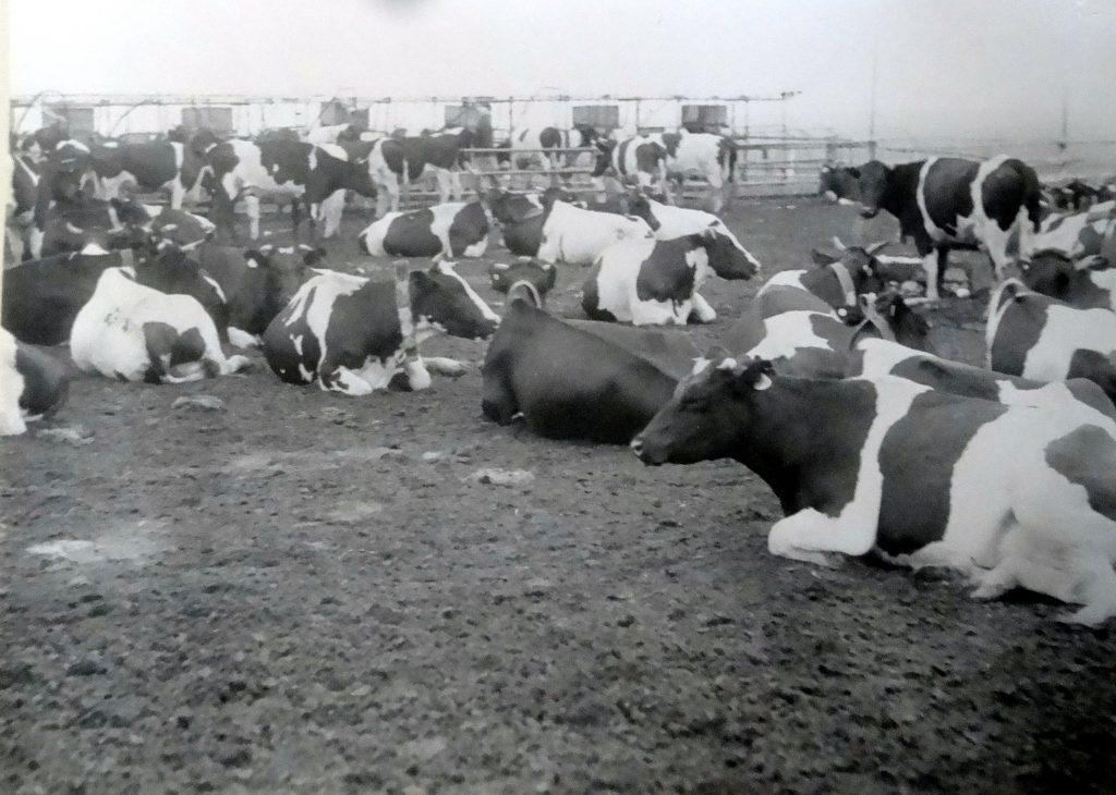 Коровы-Казахстан.jpg