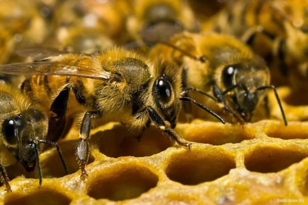 На фото пчелы в улье