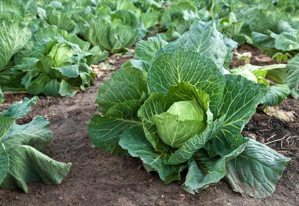 Как вырастить белокочанную капусту?