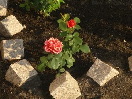 Роза флорибунда: особенности и уход