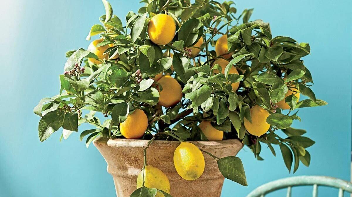Павловский лимон – особенности выращивания и уход