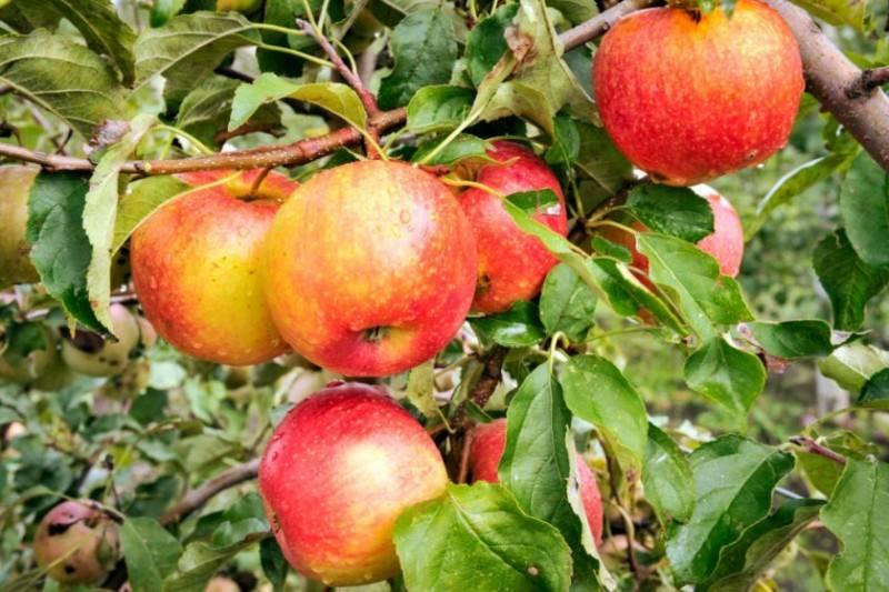 Яблоня Чемпион Рено – описание сорта, особенности выращивания