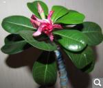 """Экзотический цветок """"Пустынная роза""""  1545a0436242ea8fce4d7a671fc88e24"""