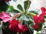 """Экзотический цветок """"Пустынная роза""""  4997c12aa49ad4656cce1e2d30769cac"""