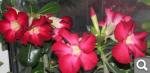 """Экзотический цветок """"Пустынная роза""""  7f2b75947e853a60a216cfb72891a2db"""
