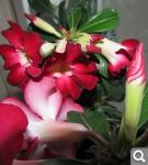 """Экзотический цветок """"Пустынная роза""""  80e086040baa7aa557e7b303df071c53"""