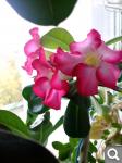 """Экзотический цветок """"Пустынная роза""""  0cae54a2e47a2a84d60460f36c3c195d"""