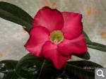 """Экзотический цветок """"Пустынная роза""""  1ab53cfe7801c5cdab3b04dc7214dd2b"""