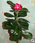 """Экзотический цветок """"Пустынная роза""""  1c3ecba140e0c735a780934d67bcf82d"""