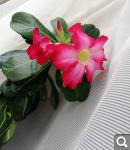 """Экзотический цветок """"Пустынная роза""""  2ace7020e938e221a90c96abc5e80243"""