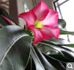 """Экзотический цветок """"Пустынная роза""""  314bcd0208fa516237e267d1520f6425"""