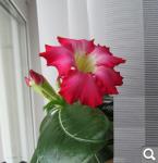 """Экзотический цветок """"Пустынная роза""""  D19cbc705c7eebe6de6390a0bc1d8ef9"""