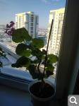 Отдам цветы и отростки - Страница 32 6b1ec228e0df856198ed25b91dd84a22